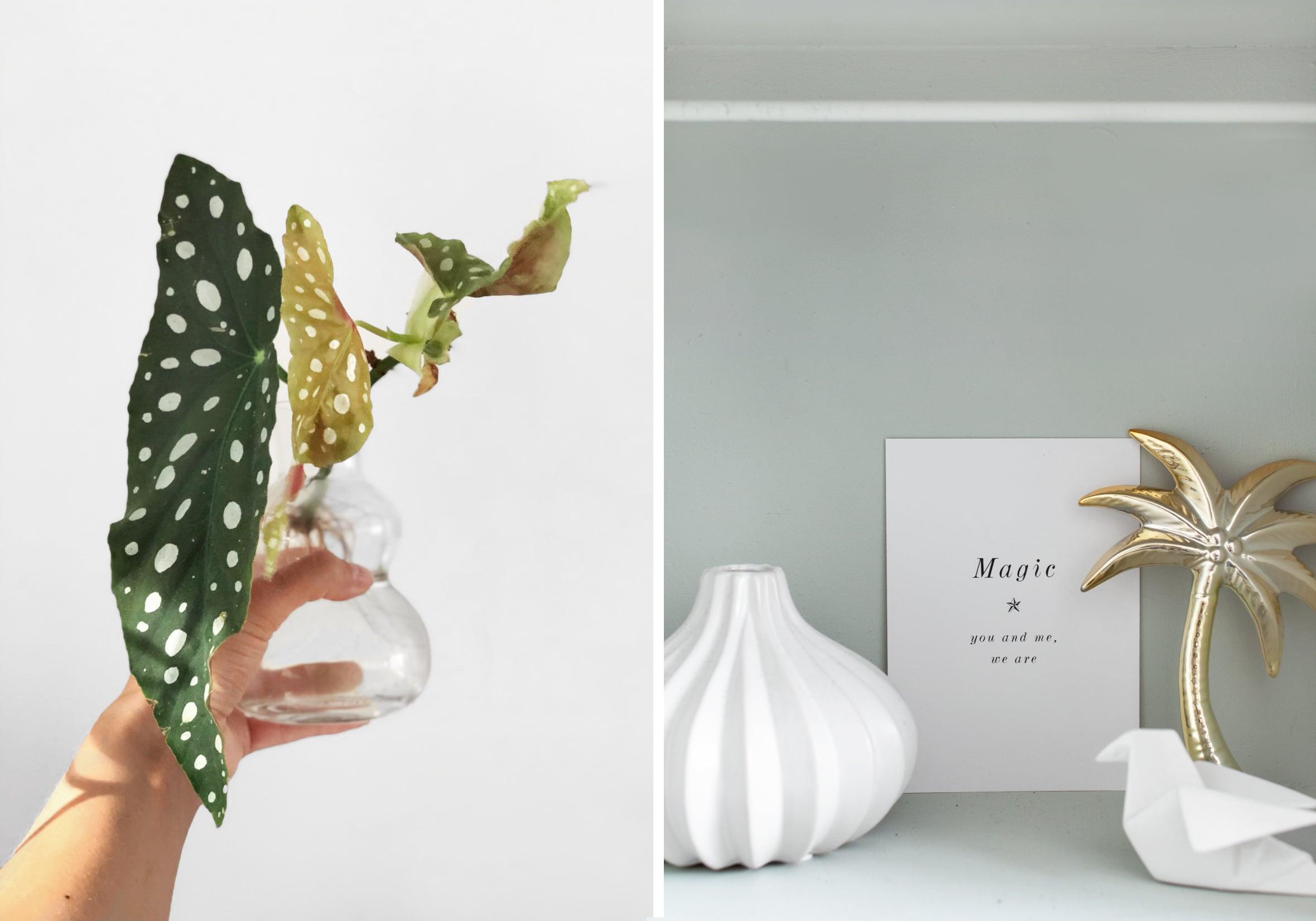 De Begonia Maculata stippenplant - Tanja van Hoogdalem