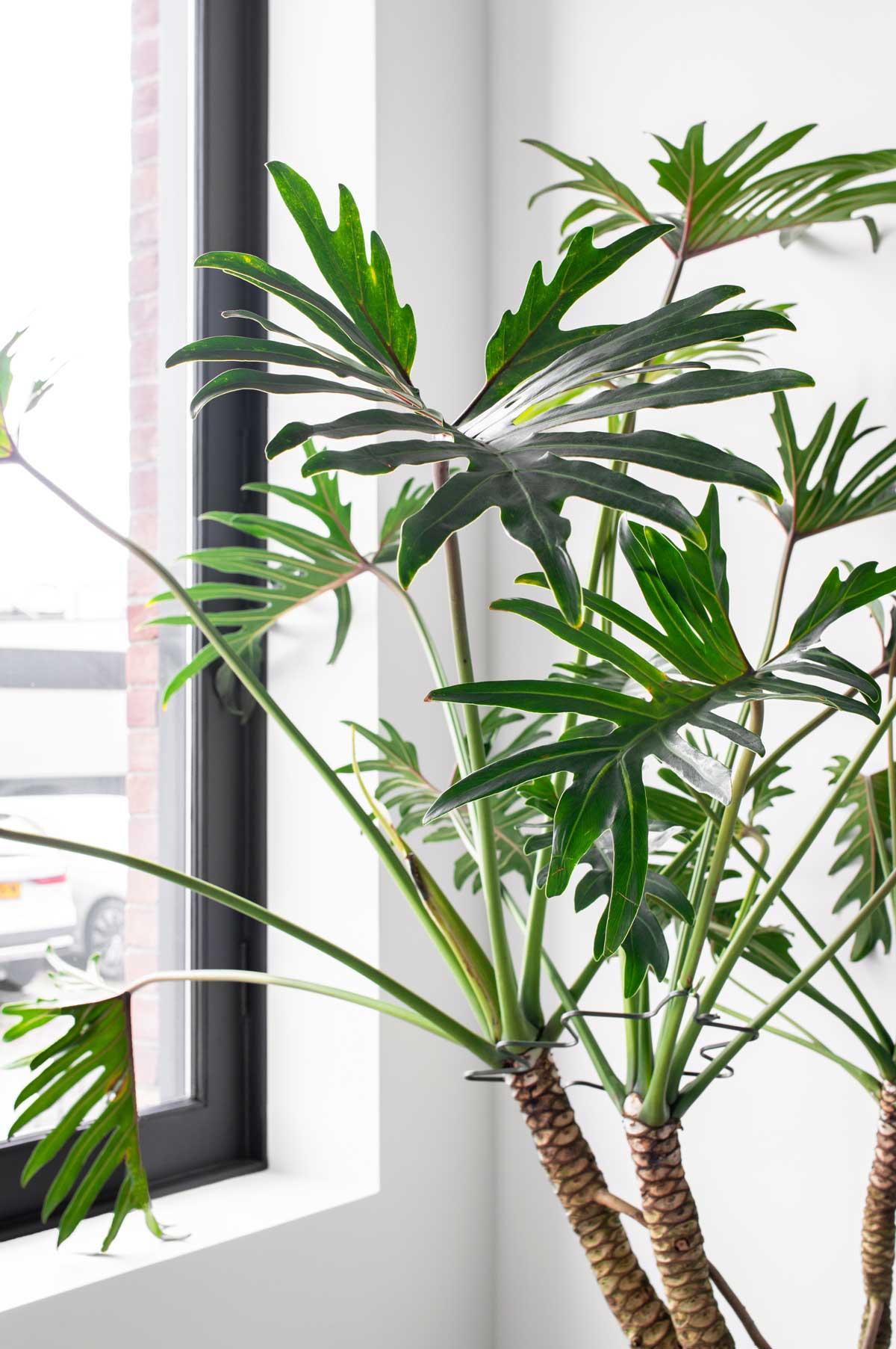 Philodendron Xanadu - Tanja van Hoogdalem