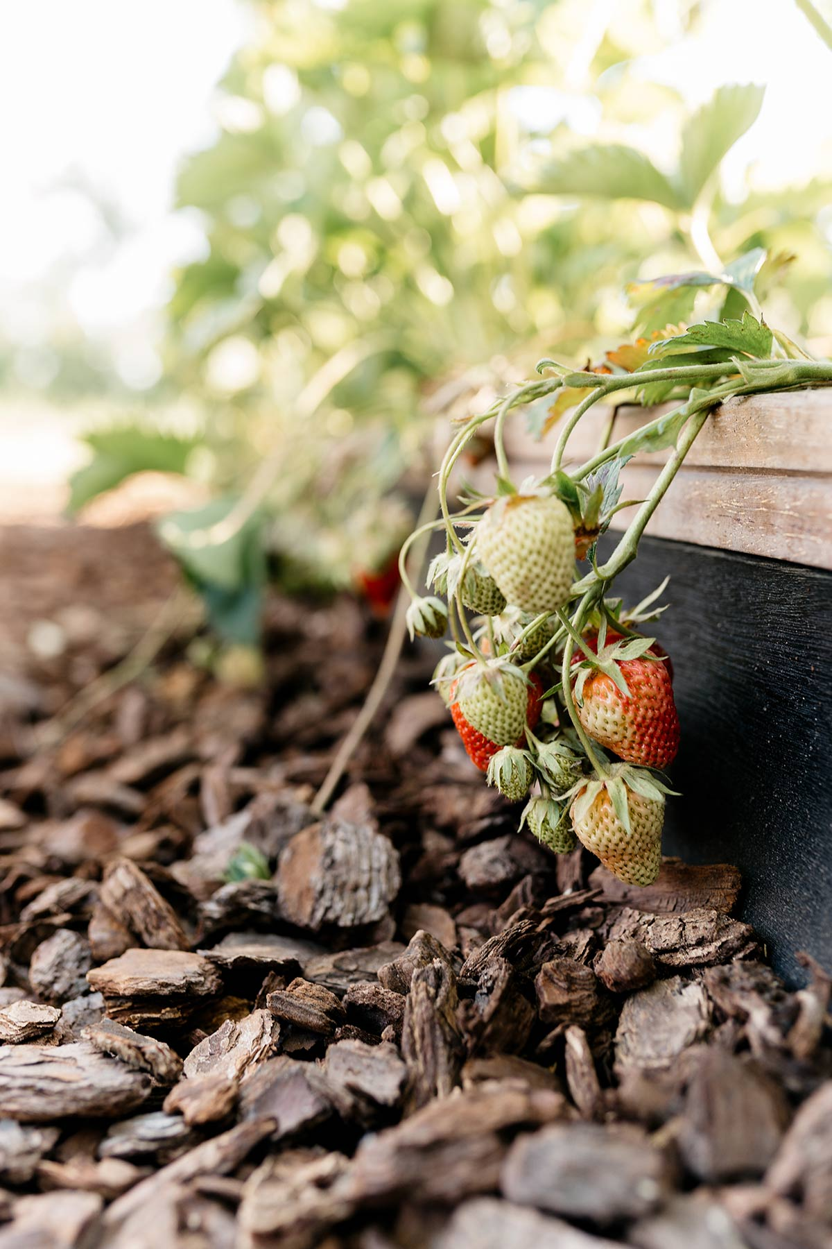 aardbeien moestuin - Tanja van Hoogdalem